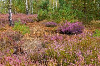 Heidelandschaft im Spätsommer - Heath landscape with flowering Heather