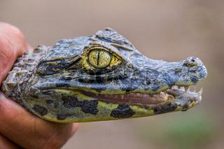 Hand holding a baby crocodile