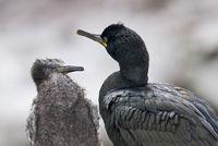 Kraehenscharben - Muttertier mit Jungvogel