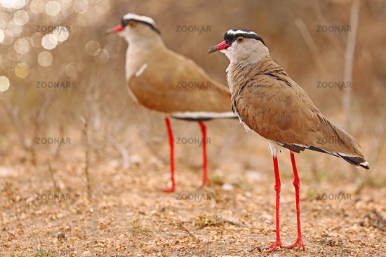 Crowned lapwings, South Africa