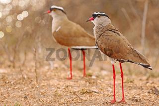 Kronenkiebitz, Kruger NP, Südafrika, crowned lapwings, South Africa, Vanellus coronatus