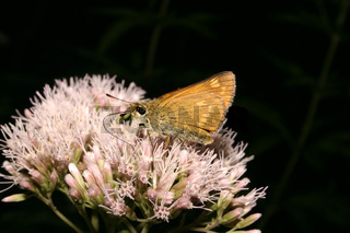 Dickkopffalter / Small Skipper, Thymelicus lineola