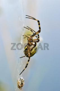 Wespenspinne, Zebraspinne, Tigerspinne, Seidenbandspinne (Argiope bruennichi) mit eingewebter Beute, Grashuepfer im Netz, Wasp spider with prey in net