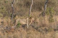Lion (Panthea leo)