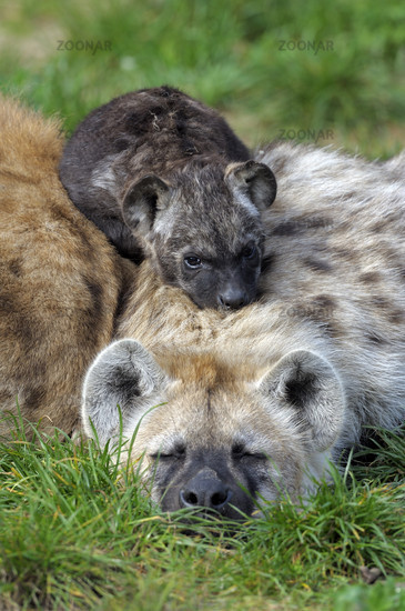 Young spotted hyena (Crocuta crocuta) rests on parent