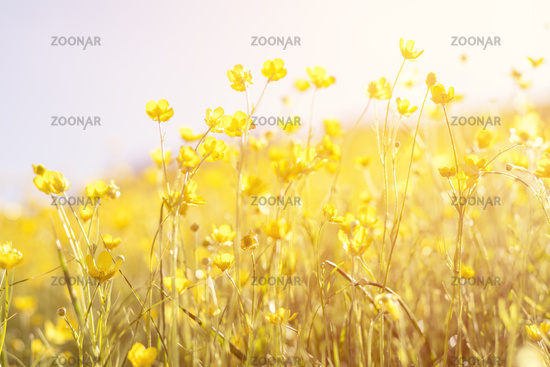 Blooming yellow flower in the field on a sunny day in the summer time