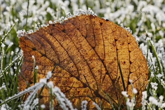 Frost-covered leaf in November