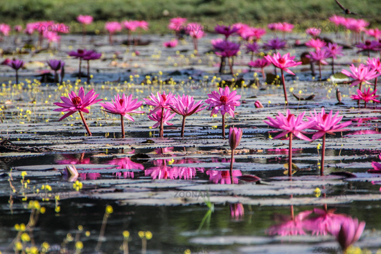 Small pond with pink water lilies