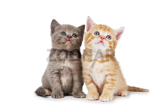 little british shorthair kittens cat