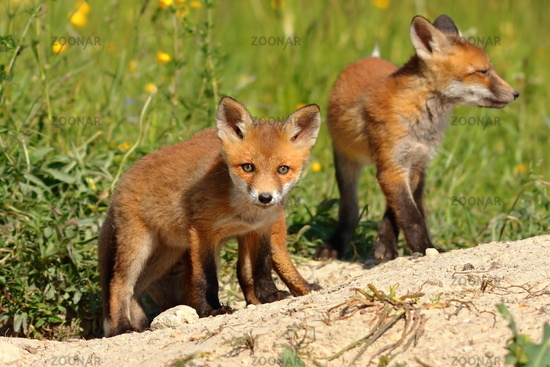 curious red fox cub looking at the camera (Vulpes )