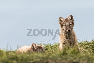 Arctic fox cubs, one lying and one sitting looking at camera, Svalbard