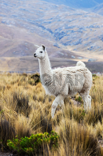 lama in a pasture