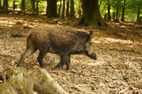 A young wild boar is hurrying through the light forest
