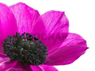 Isolated purple anemone flower blossom