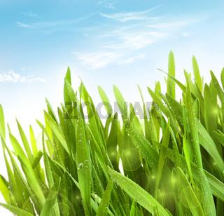 Fresh wheatgrass with dew drops