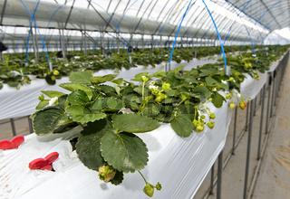 Hors-Sol-Anbau von Erdbeeren im Gewächshaus,Everyday Farm LLC, Songino Khairkhan, Mongolei