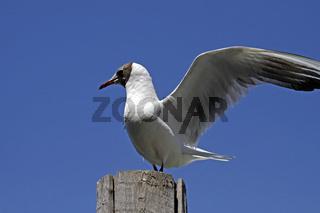 Lachmöwe, Larus ridibundus - Black-headed gull