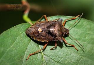 Wanze auf einem Blatt, Schnabelkerfe, Wanze, Insekt, Natur