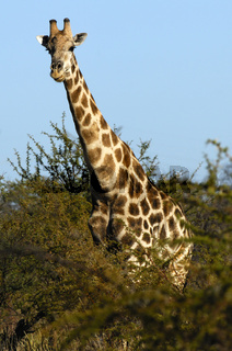 Giraffe (Giraffe camelopardalis)