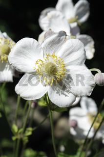 japanische Anemone, Gartenblume