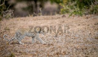 Baby Leopard walking in the grass