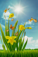 Daffodils and butterflies in sunny field