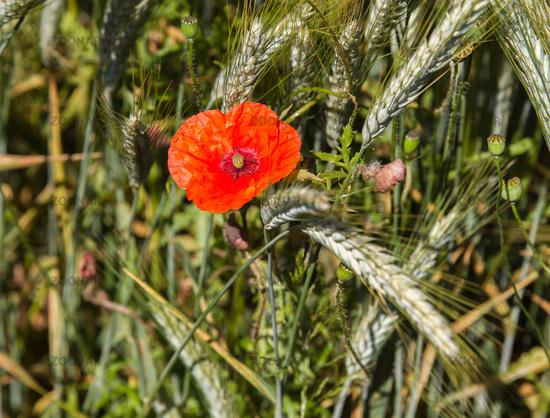 Poppy in cornfield 2