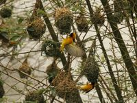 Yellow Weaver Bird building a nest
