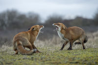 threatening each other wide open jaws... Red Foxes *Vulpes vulpes*