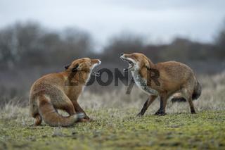fauchend... Rotfüchse *Vulpes vulpes*