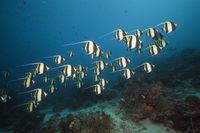 Schwarm Halfterfische, Indonesien
