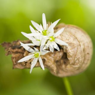 Bärlauch - bear's garlic