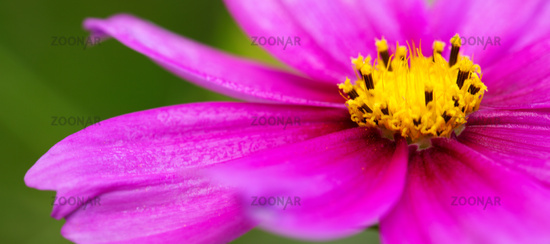 Macro Shot of pink Cosmos flower.