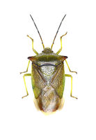 Hawthorn Shield Bug on white Background  -  Acanthosoma haemorrhoidale (Linnaeus, 1758)