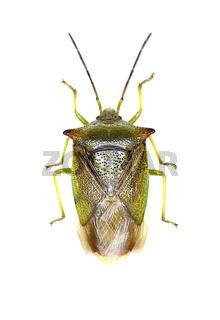Hawthorn Shield Bug on white Background  -  Acanthosoma haemorrhoidale (Linnaeus, 1758)