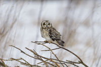 Short Eared Owl in winter, Asio flammeus, Sumpfohreule im Winter