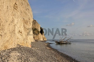 Moens Klint and death tree fallen of the cliff into the sea.