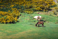 Free walking horses on the hills of Rhossili Bay, Wales