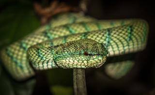 Waglers Pit Viper in Borneo, Malaysia