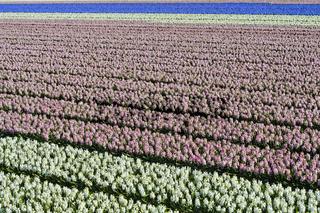 Anbau von Hyazinthen zur Produktion von Blumenzwiebeln, Noordwijkerhout, Niederlande