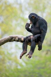Chimpanzee XIII