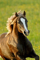 Beautiful brown Welsh Pony