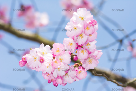 Twig with pink cherry blossoms