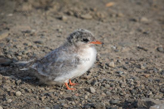 Arctic Tern, Sterna paradisaea, young chick sitting on gravel. Spitsbergen, Svalbard