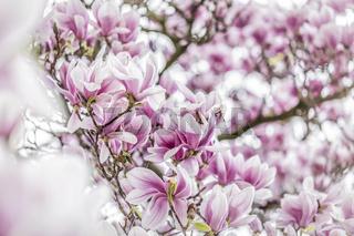 viele Magnolien Blüten