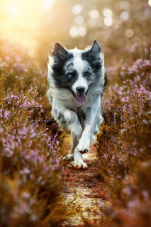 Rennender Border Collie