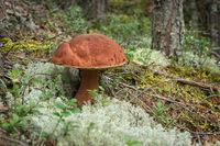 Imleria badia mushroom