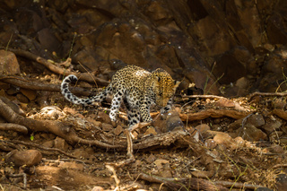 Leopard (Panthera pardus) im Fels, Afrika, Botswana, Tuli Block