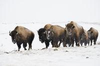 small herd walking through blowing snow... American Bison *Bison bison*