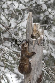 aus seiner Höhle kletternd... Amerikanischer Baummarder *Martes americana*
